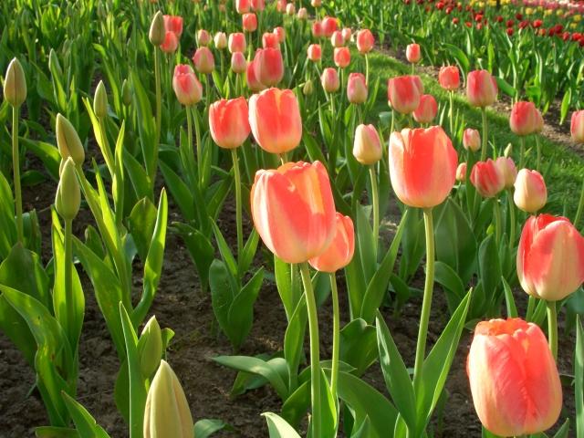 Tulpen für jeden Tag vor dem Gedächtnismahl